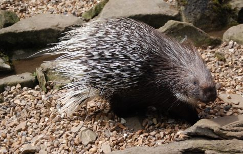 Oh, Ms. Porcupine – A Short Haiku Series