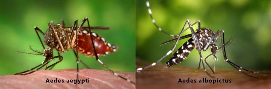 Aedes+aegypti+is+the+type+of+mosquito+that+carries+mosquito-born+illnesses+such+as+Dengue+Fever+and+Zika.+Aedes+albopictus+is+the+type+of+mosquito+that+is+a+non-carrier+of+these+viruses+in+these+subtropical+areas.%0APhoto+courtesy+of+https%3A%2F%2Fwww.zikavirusdiseases.com%2Fthe-zika-virus-mosquitoes%2F.+