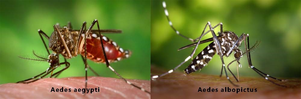 Aedes aegypti is the type of mosquito that carries mosquito-born illnesses such as Dengue Fever and Zika. Aedes albopictus is the type of mosquito that is a non-carrier of these viruses in these subtropical areas. Photo courtesy of https://www.zikavirusdiseases.com/the-zika-virus-mosquitoes/.