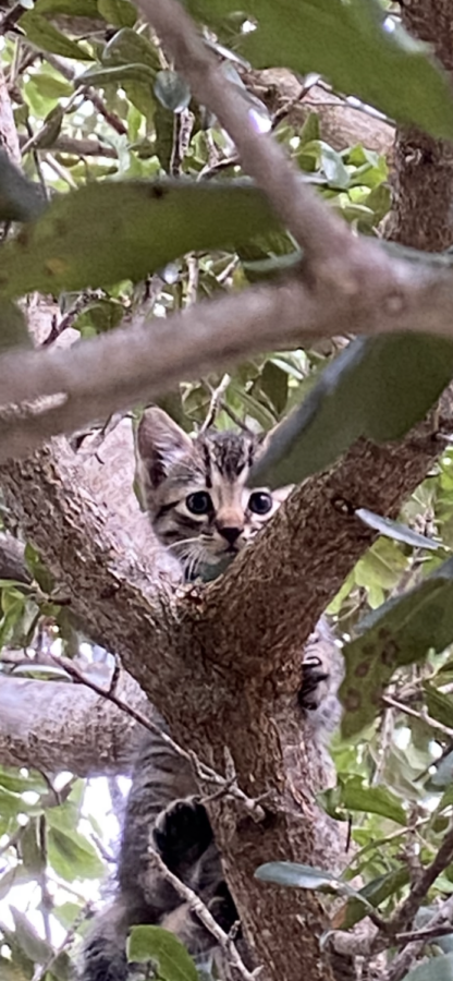Meet+Bobby%2C+or+Tiny+the+Tiger%2C+depending+on+which+teacher+you+speak+to.+This+tiny+kitten+was+rescued+Wednesday+morning+from+one+of+the+trees+in+the+school+parking+lot.